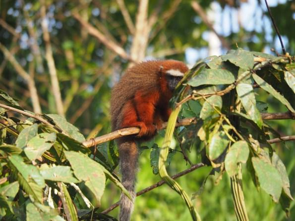 monkey, ape, Ecuador