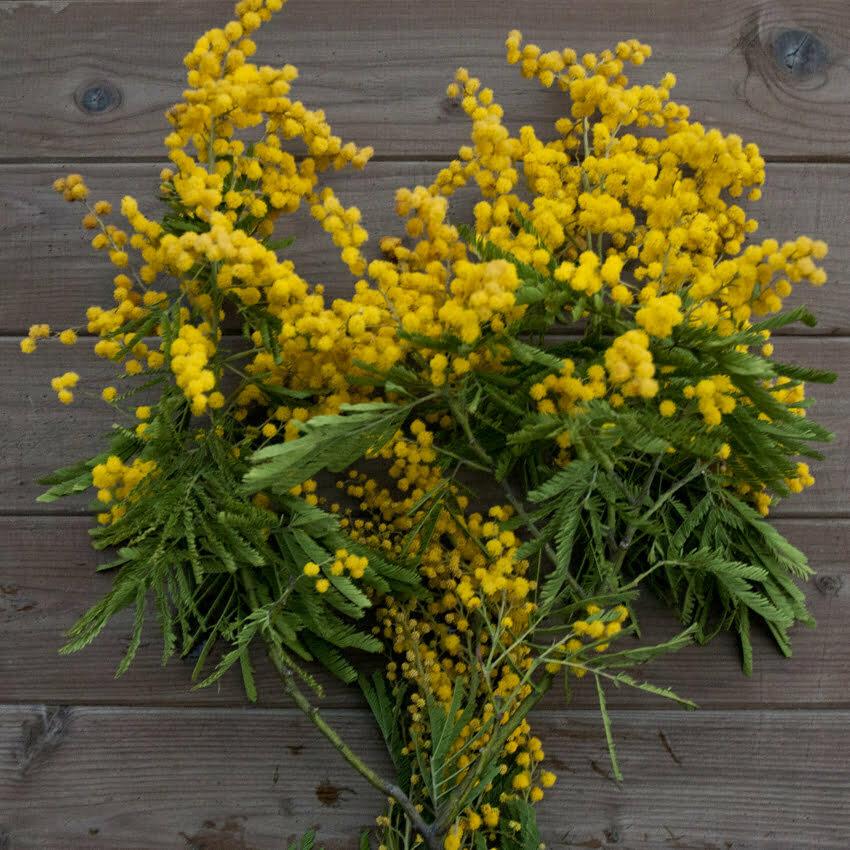 kwiaty mimozy