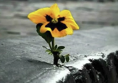 Pansy-grows-from-concrete