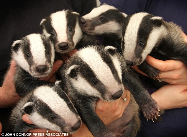 badger-cubs