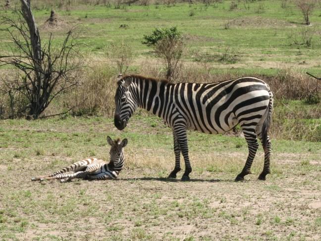Serengeti zebras