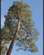 Le vieux pin