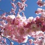cerisier-fleurs