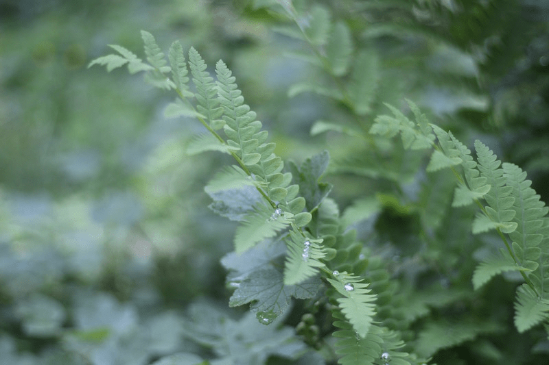 Fern-Listening-6.1 by L.L. Barkat