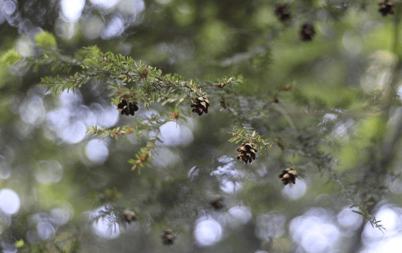 Hemlock-Four Pinecones by L.L. Barkat 9