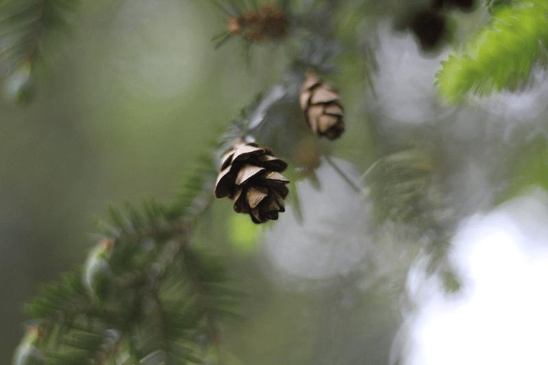 Hemlock-One Tiny Pinecone by L.L. Barkat 6
