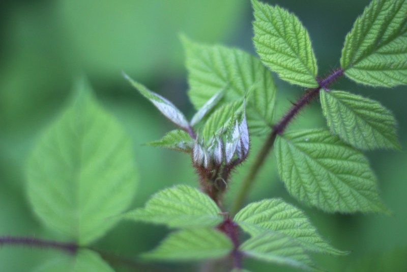 Wineberries in leaf 4