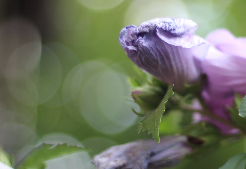 Rose of Sharon-10-Drying Flower
