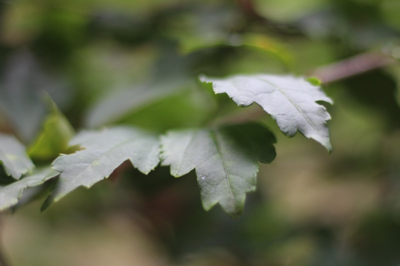 Rose of Sharon-3- Leaves