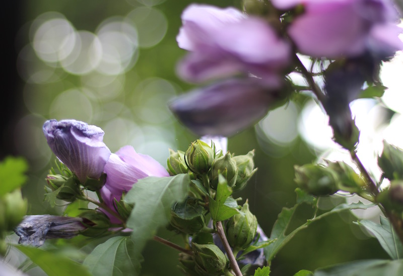 Rose of Sharon-9-buds and dying flower