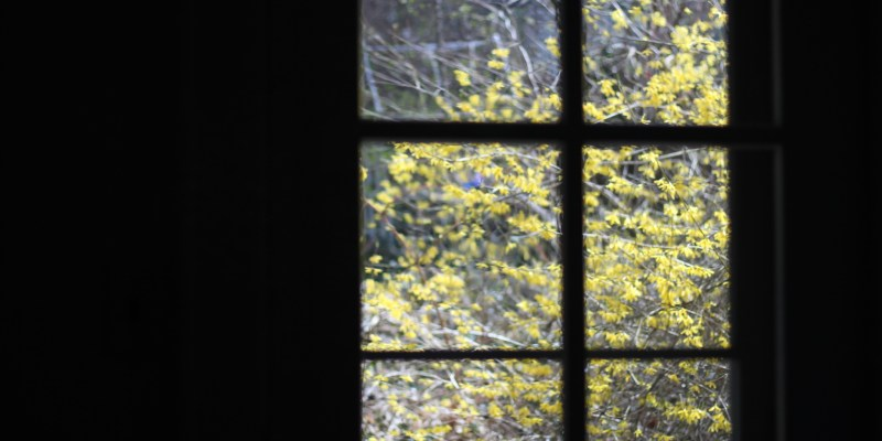 outdoor forsythias
