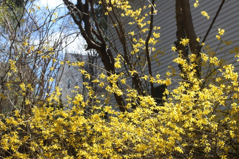 the simplicity of forsythias and houses