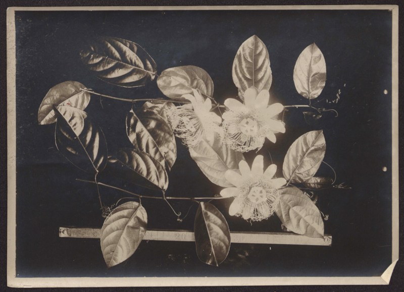 Passiflora acuminata DC by André Goeldi, Smithsonian Institution, flower with a story