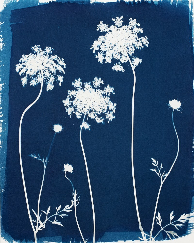 swyers queen anne's lace cyanotype print2
