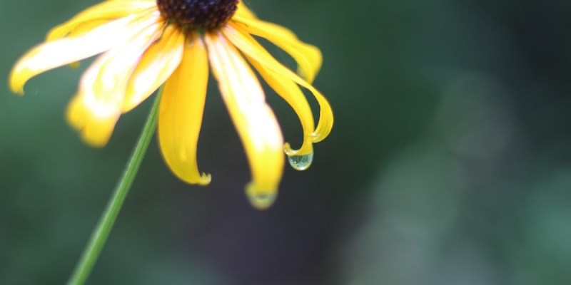 5-Brown Eyed Susan Late