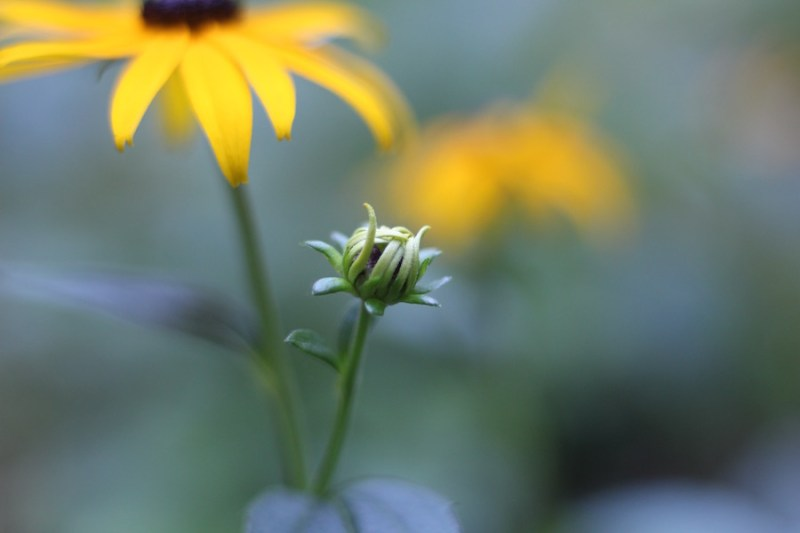 Brown Eyed Susan Bud