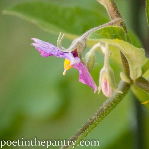 fairy tale eggplant flower