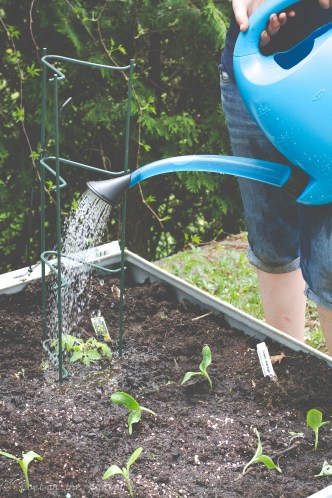 a little water for thirsty tomato plants, utilizing OXO's outdoor pour and store watering can