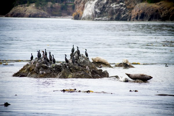 Cormorants and harbor seals near Lopez Island on an Island Adventures Whale Watching trip