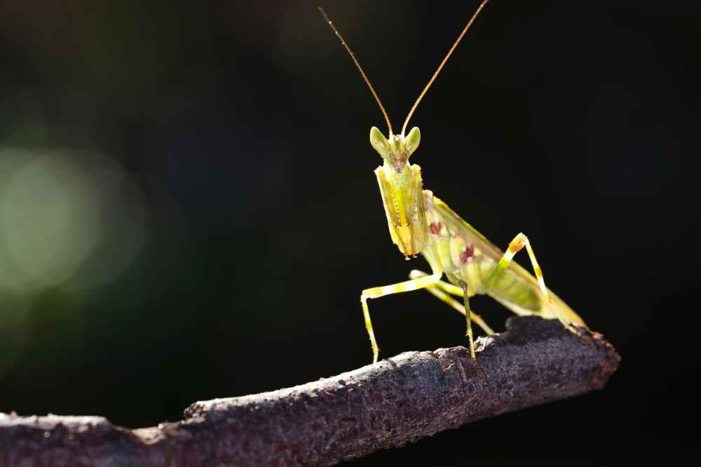 close up photo of green praying mantis