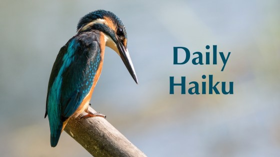Kingfisher Daily Haiku