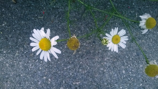 Zoomed picture of daisies on the asphalt