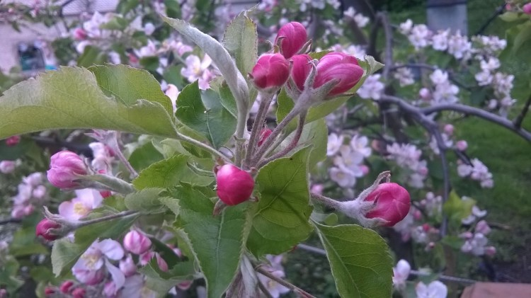 Zoomed picture of pink apple flowers