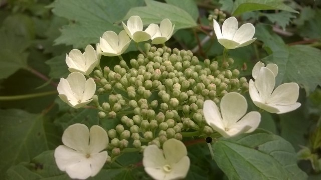 Green flower with satellite white pentagonal flowers.