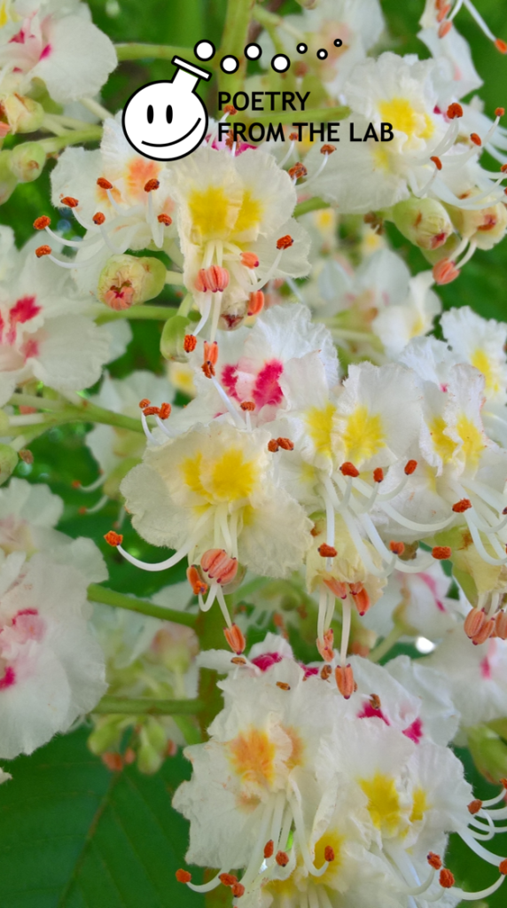 free wallpaper for smartphone with zoomed image of horse-chestnut flowers pin and yellow