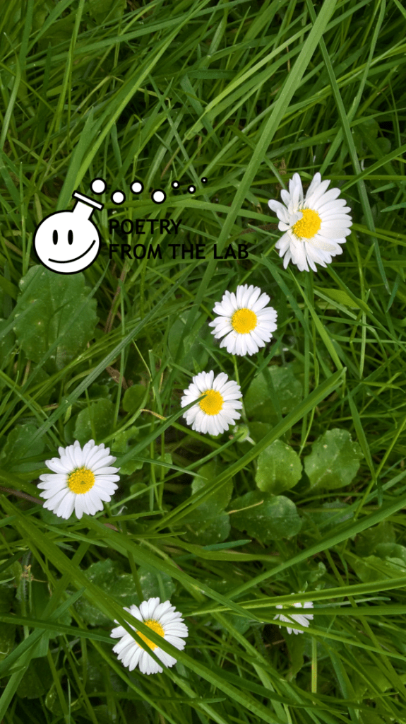 free wallpaper for smartphone with zoomed image of white daisies bellis perennis