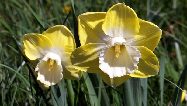 I'm Planting Daffodils Today