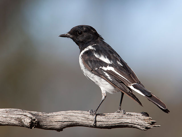 hooded-robin