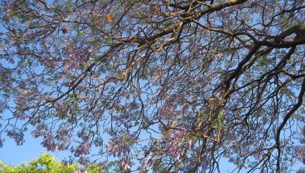 Beneath a Jacaranda Tree