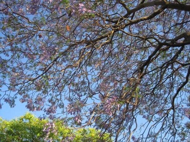 jacaranda-tree-in-bloom