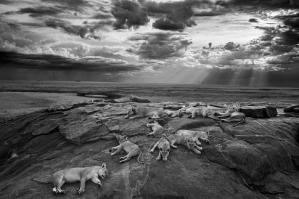 Lionesses and cubs from the Vumbi lion pride rest on a kopje, a rocky outcrop, near a favorite water hole. © Michael NIchols,/National Geographic Creative