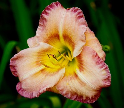 Muse of the Daylily
