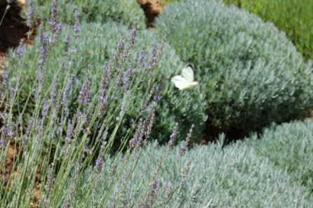 Butterflies loved the lavender