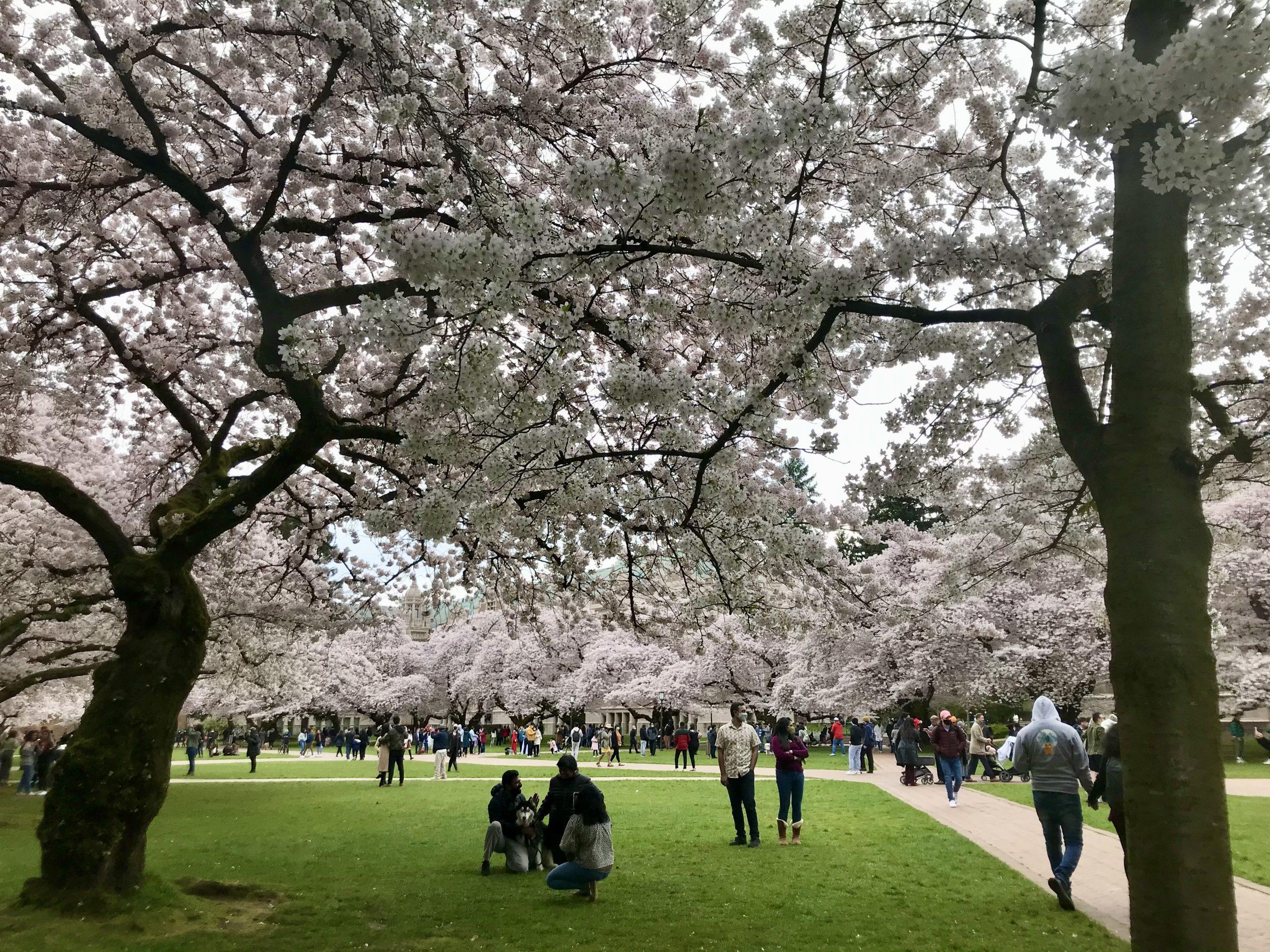 Cherry blossoms—University of Washington