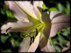 liliesofieldlilypnkblack1