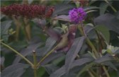 humbirdhummingbird6