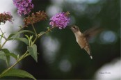 gracefulhumbirdhummingbird4