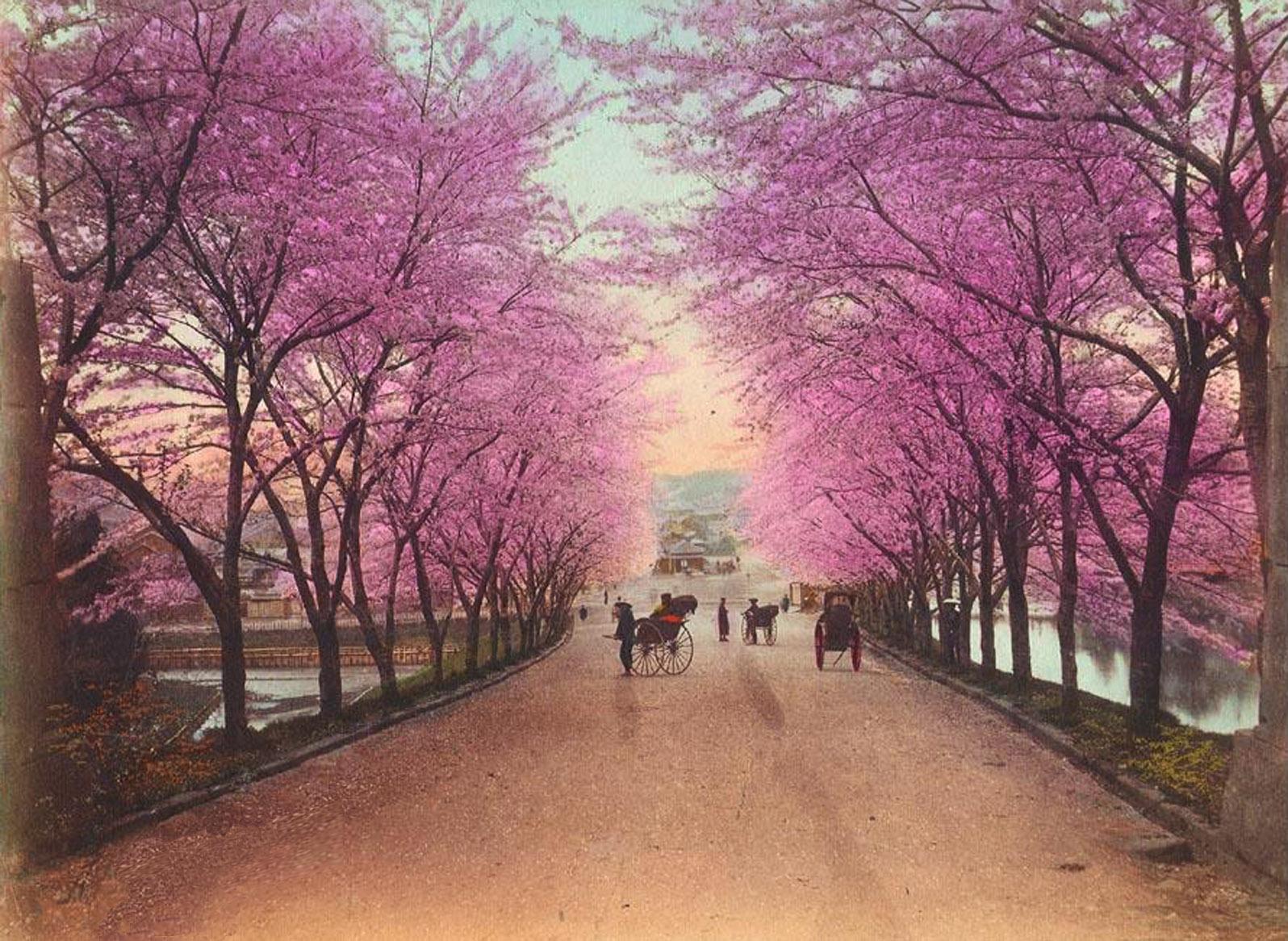 akasaka-blooming-cherry-trees1