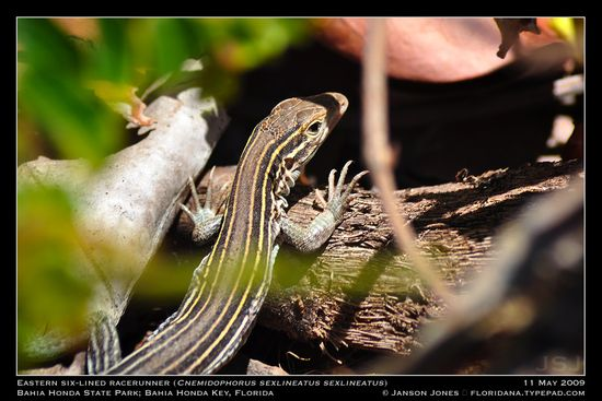 Eastern Six-Lined Racerunner Bahia Honda Key by JJ