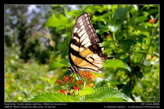 Eastern Tiger Swallotail by Janson Jones
