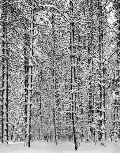 Ansel Adams Pine Forest In Snow 1932 Lolas Curmudgeonly