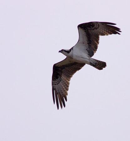 Osprey are one of my favorite birds