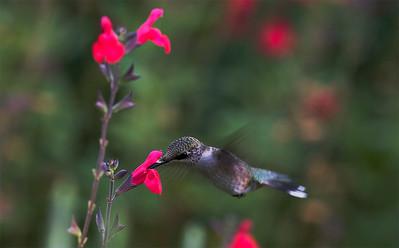 Catching a Humming Bird