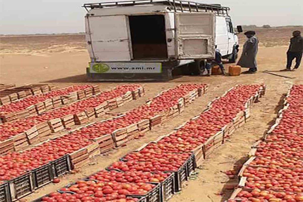 Trarza : Les maraichers parviennent à alimenter les marchés de Rosso et Nouakchott en légumes