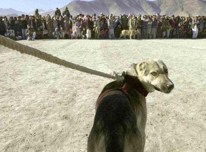 Royaume-Uni: l'évacuation d'Afghanistan de 200 chiens et chats fait polémique
