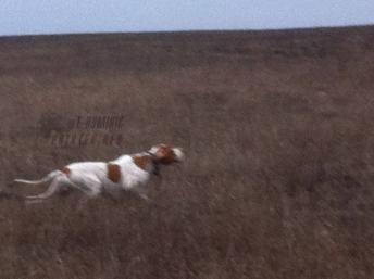охота на перепела с пойнтером украина днепр